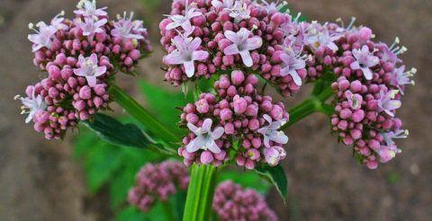 Понизить пульс народными средствами возможно с помощью цветов и корневищ валерианы. Растение обладает целебным свойством. Правильно приготовленный отвар успокаивает и снижает сердцебиение.