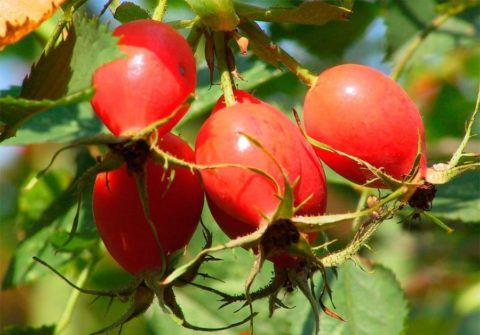 Снижению АД способствует употребление плодов шиповника