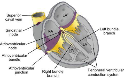 Схематическое изображение проводящей системы сердца человека.