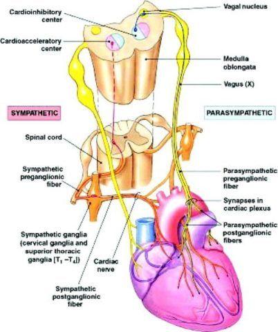 Уровни подхода нервных волокон от симпатической и парасимпатической нервной систем.