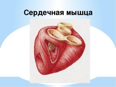 Внешний вид мышечной ткани органа.