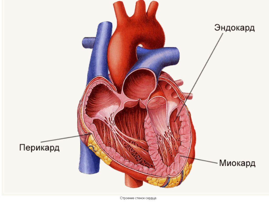 Эндокард — внутренний слой стенки сердца
