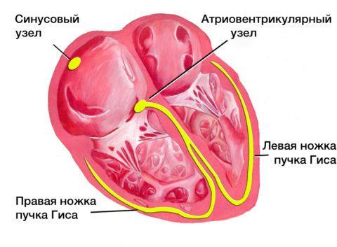Синусовый узел генерирует электрические импульсы