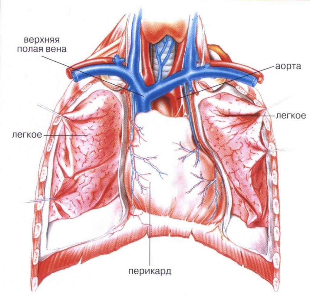 Перикард защищает сердце от повреждений