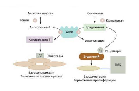 Механизм действия ингибиоров АПФ