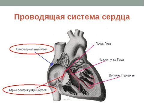 Сложная проводящая система сердца