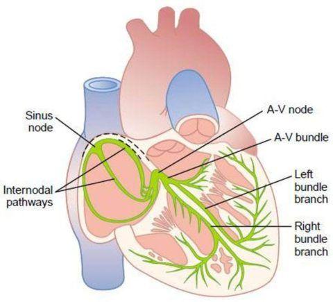 Так выглядит нормальная проводящая система сердца