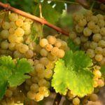 Виноград богат антиоксидантами и витаминами