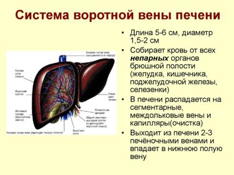 Характеристика кровоснабжения.