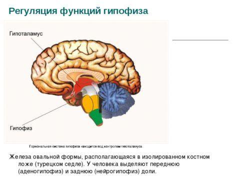 Направления показывают на 2 основных нейрорегуляторных центра эндокринной системы.