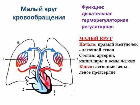 Общее отображение распределения крови из сердца в легкие.
