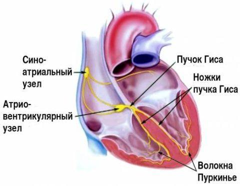 Проводящая система желудочков