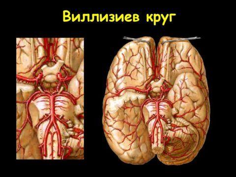 Расположение по поверхности головного мозга.