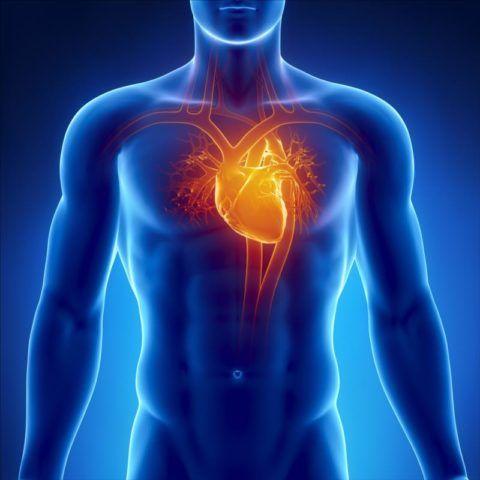 Сердце и сосуды обеспечивают функционирование и жизнедеятельность всего организма.
