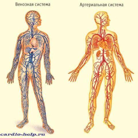 Схема венозной и артериальной системы кровообращения.