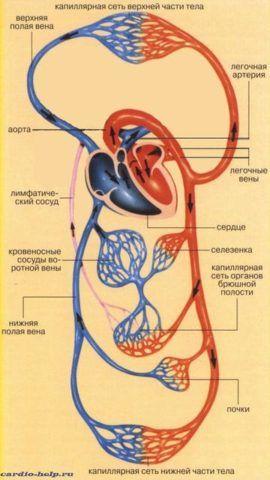 Схематическое изображение перехода артериальной крови в венозную, большого круга кровообращения.