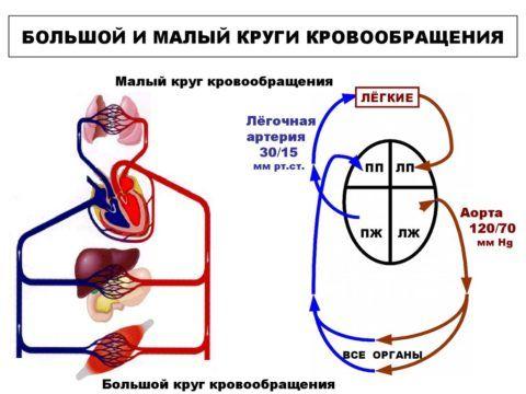 Схематическое изображение циркуляции.