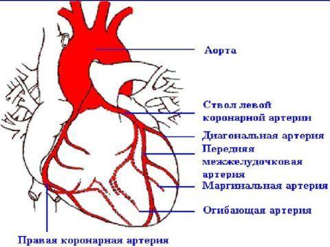Схематическое распределение артерий и вен, обеспечивающих питание сердца.