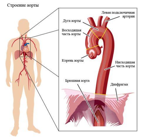 Строение аорты здорового человека.