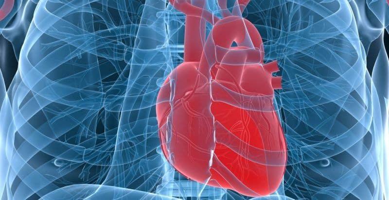Расположение сердца и части желудочка