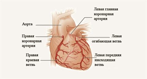 Предсердное трепыхание может снизить кровоснабжение миокарда (коронарный кровоток) на 60%