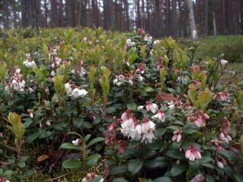 Период массового цветения – лучшее время для заготовки вегетативной массы впрок