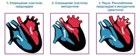 Периоды сердечного цикла