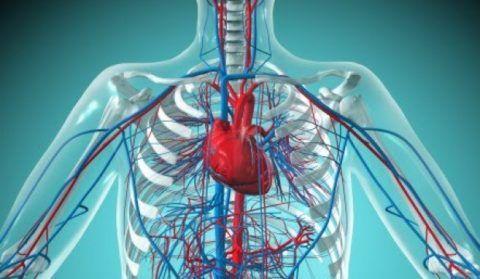 Сердечно-сосудистая система обеспечивает жизнедеятельность и функционирование всего организма.