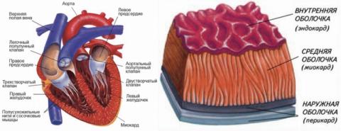 Строение сердца и его стенки