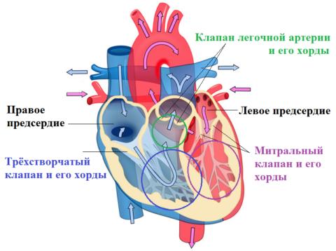 Стрелками показано направление кровотока в сердце