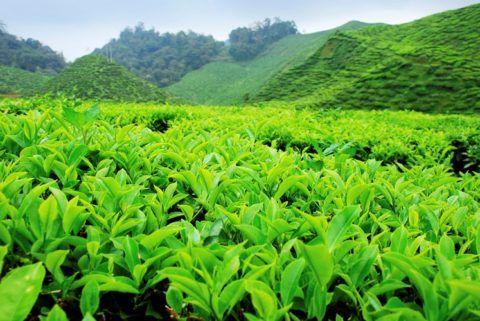 Чайная плантация (на фото Camellia sinensis)