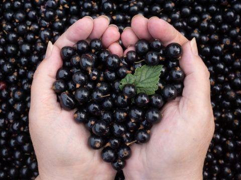 Из всех видов смородины меньше всего противопоказаний у черных ягод, например, при гастрите нельзя есть красную
