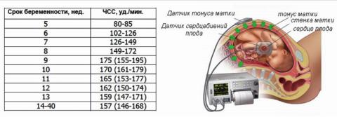Норма ЧСС во время внутриутробного развития и аппарат ЭхоКГ