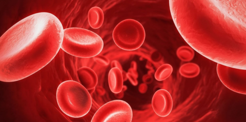 Отсутствие ядра и органелл позволяет максимально освободить место для гемоглобина