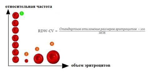 Виды красных клеток крови в зависимости от их диаметра и формула расчета RDW-CV