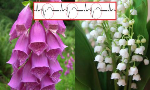 Экстрасистолия (бигеминия) часто возникает у лиц, лечащихся сердечными гликозидами