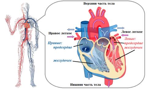 Сердце человека – это 4-х камерный «насос» из 2-х предсердий и 2-х желудочков