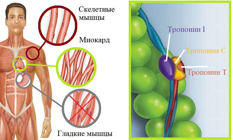 Компоненты миокардиального тропонина и его встройка в актиновые нити сердца