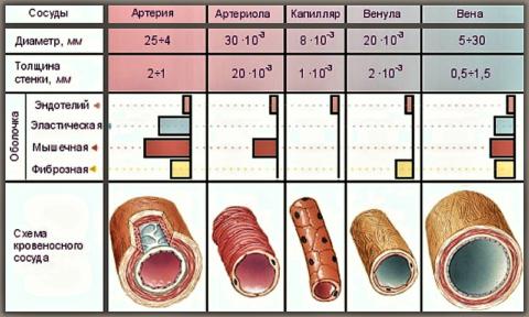Кровеносные сосуды человека: схема строения стенки (в поперечном разрезе)