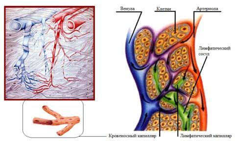 Переход артерий в вены и «содружество» кровеносных и лимфатических капилляров
