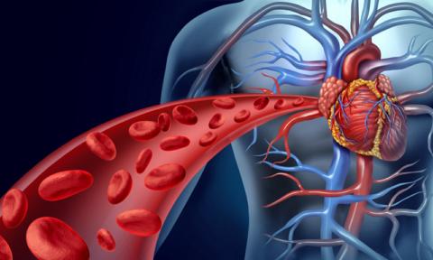 Понятие Система кровообращения человека введена английским медиком У. Гарвеем в 1616 г.