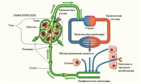 Схема движения лимфы
