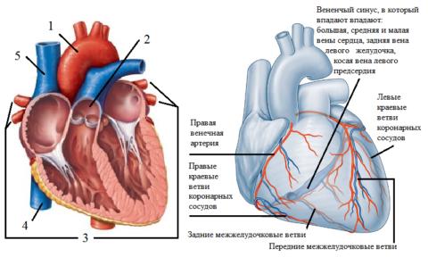 Сосуды выходящие и впадающие в сердце, и эпикардиальные коронарные сосуды