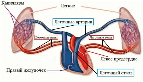 Вены и артерии малого круга кровообращения