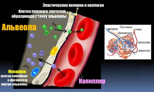Обмен О2–СО2 между альвеолярным воздухом и капиллярной кровью