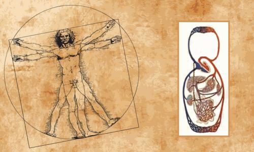 Схема большого круга кровообращения у человека