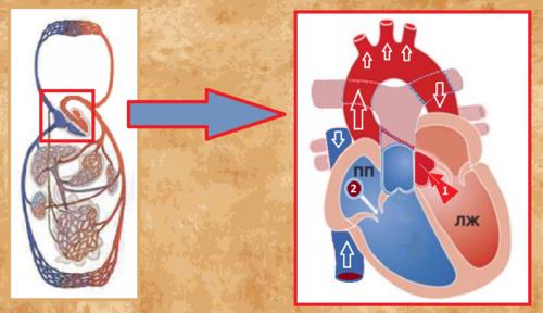 Начало (1) и конец (2) циркуляции крови по БКК