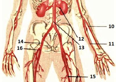 Артериальные сосуды туловища и рук