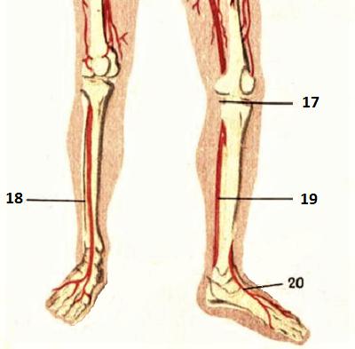 Крупные артерии нижних конечностей