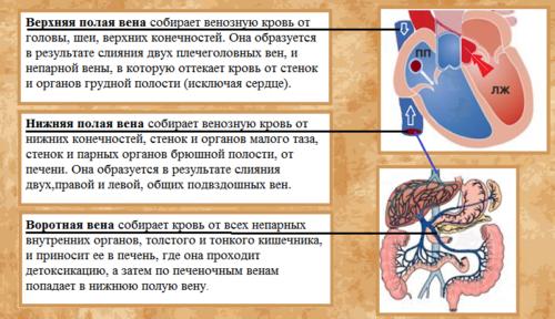 Три из четырех системных вен человеческого организма